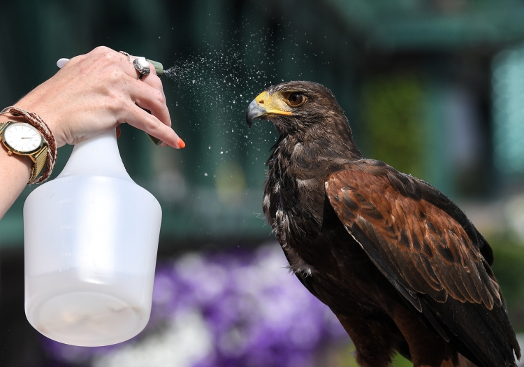 Rufus the Hawk is cooled down